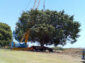 Relocation of the Queen's Tree